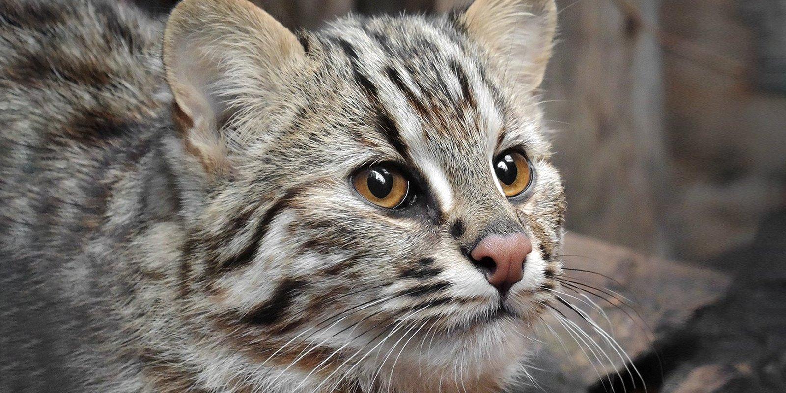 природные амурские кошки фото потому запах